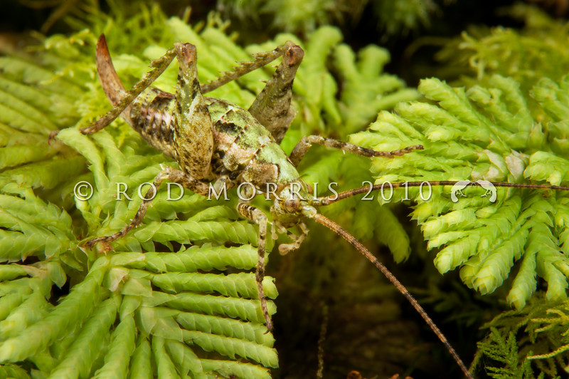 DSC_3127 Moss weta ((Maotoweta virescens) individuals of this unusual tiny 'green' weta were first found by Rod on curtains of the hanging moss (Weymouthia mollis) in Fiordland in 1991. When Rod showed these photos to entomologist Peter Johns, he learned that Ray Forster had also seen this weta back in 1948, and again in 1953. In January 2014 Johns formally described the animal after examining individuals he  recently collected himself from the Takitimus. This little female is sitting amongst umbrella moss in Fiordland