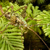 DSC_3127 Moss weta ((Maotoweta virescens) individuals of this small, distinctive green cave weta, were first found by Rod on curtains of the hanging moss (Weymouthia mollis) in Fiordland in 1991. When Rod showed these photos to entomologist Peter Johns, he learned that Ray Forster had also seen this weta back in 1948, and again in 1953. In January 2014 Johns formally described the animal after examining individuals he  recently collected himself from the Takitimus. This little female is sitting amongst umbrella moss in Fiordland