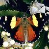 11005-42102 Yellow admiral (Vanessa itea) butterfly on lacebark flowers. Dunedin *