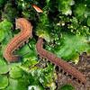 11005-11918  Waikaia Bush peripatus (Peripatoides 'Piano Flat') two adults from same family group interacting amongst liverworts at night.  This species is ovoviparous (live bearing), and has 15 pairs of legs. Piano Flat, Waikaia Bush *