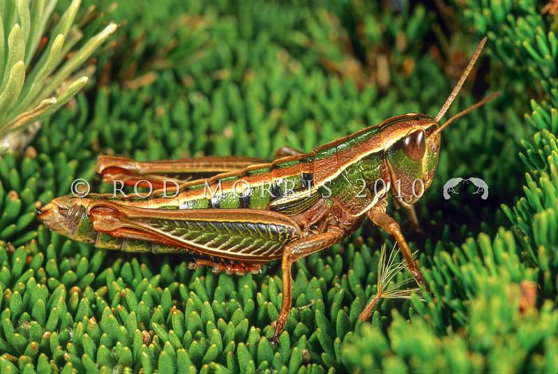 11005-25519  Dugdale's tussock grasshopper (Paprides dugdali). Blue Mountains *