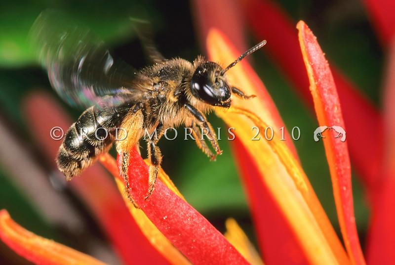 11005-57005  Native colletid bee (Leioproctus pango) in flight over mistletoe flower. Waipouri Gorge