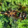 11005-21510 Emerald ranger dragonfly (Procordulia smithii) showing characteristic dark metallic green thorax and eyes. Westland *