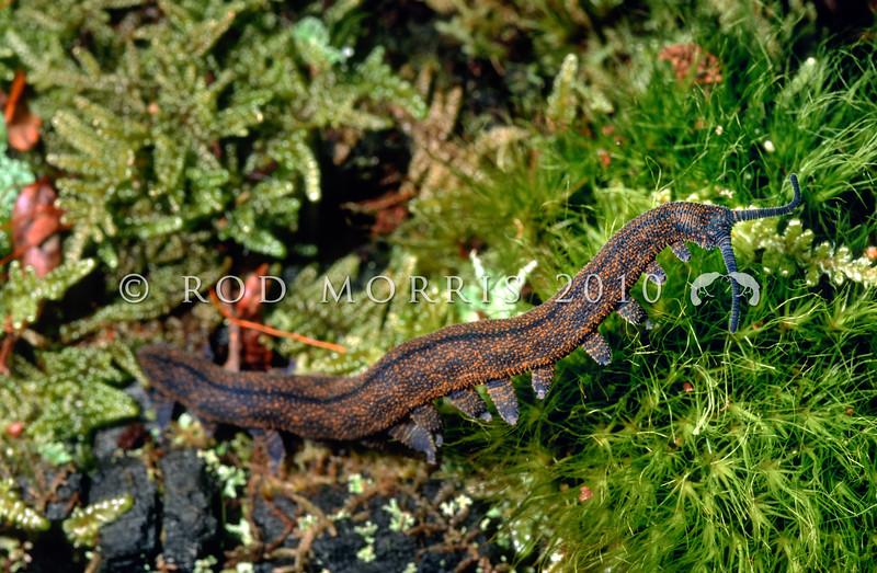 11005-11916 Rangataua peripatus (Peripatoides sympatrica) adult. An ovoviparous (livebearing) species with 15 pairs of legs, walking across moss in Rangataua Forest *