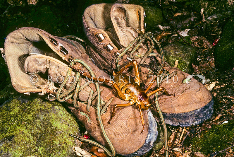 11005-30201  Little Barrier giant weta (Deinacrida heteracantha) adult female on tramping boots. Little Barrier Island *