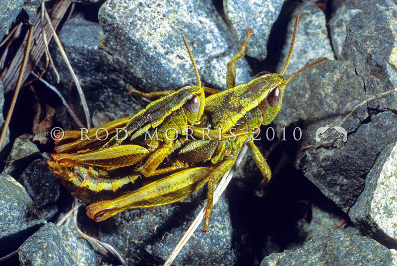 11005-25511  Snowbank grasshopper (Paprides nitidus) mating pair on scree. Seaward Kaikouras