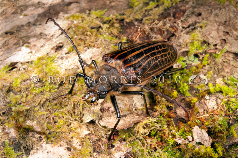 DSC_8706 Huhu beetle (Prionoplus reticularis) adult female. An endemic member of the longhorn family, and our largest and heaviest beetle. Often attracted to lights, crashing against windows at night in spring and summer. These beetles have powerful mandibles, which can produce a painful bite, however as adults they eat no food and only survive long enough to find a mate and reproduce, then after about a fortnight they die. Dunedin *