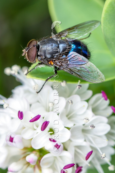 DSC_0405 NZ Blue blowfly, or rango pango (Calliphora quadrimaculata) male on Hebe amplexicaulis flowers. This endemic blowfly has been geographically and genetically isolated in New Zealand, and is probably a living example of something near to the ancestral stock of present-day Calliphora species. Indeed it may form the stock for future speciation - on Campbell Island and the Auckland Islands it already differs in having the abdomen a metallic blue-green rather than blue-violet of the mainland form. The attractive metallic sheen also distinguishes it from the 'dusted' blue-grey abdomen of the introduced European bluebottle (Calliphora vicina) which was accidentally introduced here in the 1880's. Mount Somers, South Canerbury *