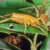 11005-30021 Poor Knights giant weta (Deinacrida fallai) young. Typical 'yellow' fourth instar at rest in pohutukawa foliage. Poor Knights Islands *