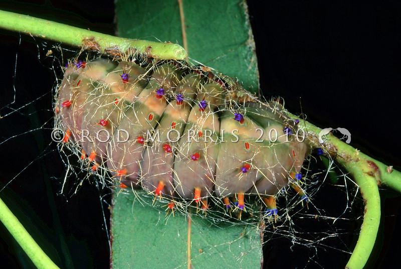 11005-45516 Emporer gum moth (Opodiphthera eucalypti) caterpillar just prior to pupating. Wellington *