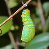 11005-40314 Monarch butterfly (Danaus plexippus) caterpillar in the process of pupating *