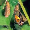 11005-42120 Yellow admiral (Vanessa itea) butterfly emerging from chrysalis *