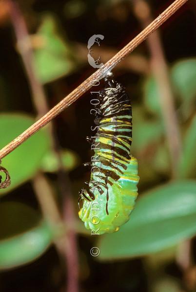 11005-40311 Monarch butterfly (Danaus plexippus) caterpillar in the process of pupating *