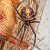DSC_9129 Red katipo spider (Latrodectus katipo) female amongst beach vegetation. Karamea *