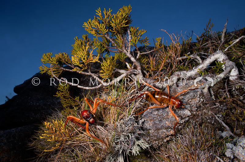 DSC_0303  West Coast giant forest weta (Hemideina broughi) pair foraging after dark below Mount Rochfort, Denniston Plateau.