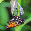 11005-40319 Monarch butterfly (Danaus plexippus) emerging from chrysalis *