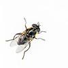 DSC_0973 Flower fly captured feeding on Hebe salicifolia, Frasers Gully, Dunedin *