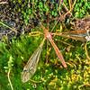 11005-50721 Giant cranefly or matua waeroa (Zelandotipula otagana) a local central-East Otago endemic with distinctive wing markings. Adult female on moss. Otago Peninsula *