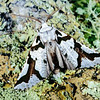 11005-46202 South Island lichen moth (Declana egregia) also known as the zebra moth. South Island only, the adult flies in summer. The twig like larvae  feed on common, and mountain five finger. Dunedin *