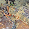 11005-27403  Elegant cave weta (Pleioplectron rodmorrisi) male. This strikingly beautiful and unmistakeable alpine cave weta with vey long legs, was first photographed by Rod in December 1993, on alpine bluffs above the Kahutara Saddle. Rod had previously seen the same weta at night on bluffs in the a headbasin in the Kowhai Stream Nature Reserve - in January of that same year. More recently It has also been collected on Mt Skedaddle (Organ Range), near Hanmer Springs, so its distribution may extend throughout the Seaward Kaikoura Range. Kahutara Saddle *