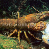 11005-12703 Southern freshwater crayfish, or koura (Paranephrops zealandicus 'south island southeast') scavenging on a dead Smeagol galaxias(Galaxias gollumoides)
