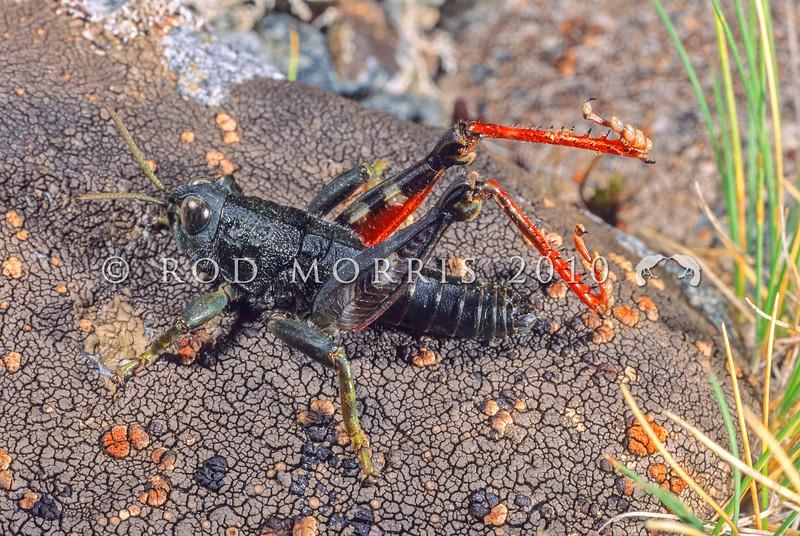 11005-25702  Short-horned grasshopper (Brachaspis collinus) an alpine species occuring in the Nelson Marlborough regions  between c.800 and 1800m asl. Lewis Pass *