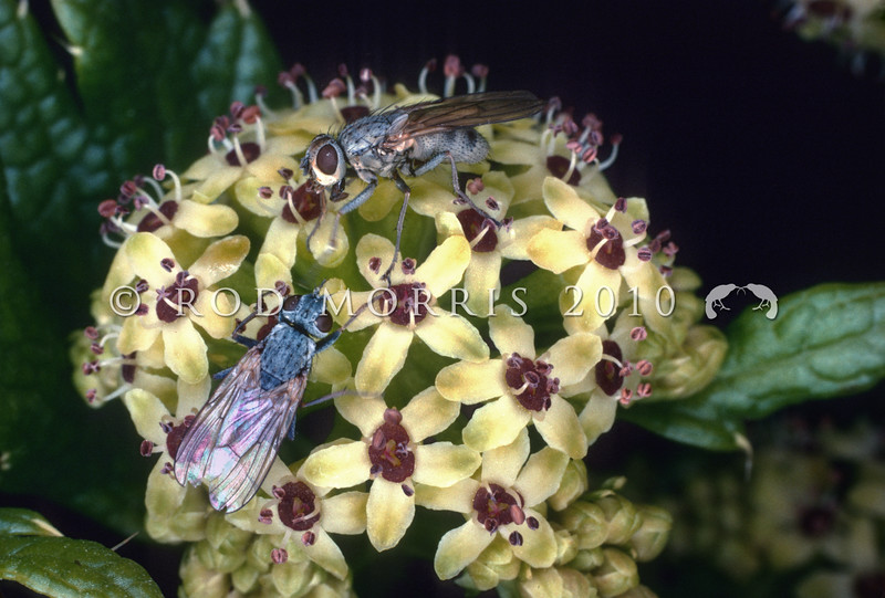 11005-24008 Beach flies (Superfamily Muscoidea, ?Family Anthomyiidae) pollinating flowers of the subantarctic megaherb Stilbocarpa (Azorella polaris) Antipodes Island *