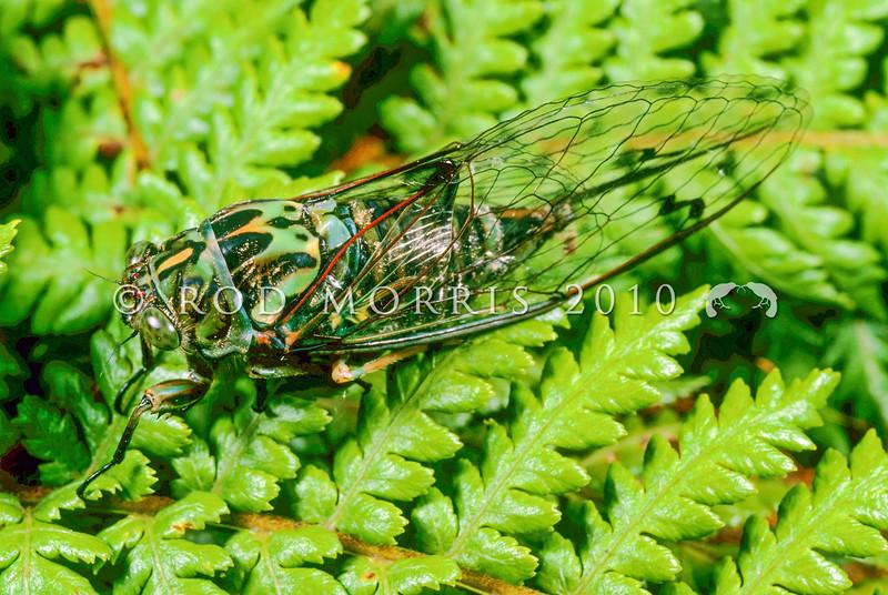 11005-32902  Chorus cicada (Amphisalta zelandica) adult on tree fern frond. Descended from Australian ancestors, Amphisalta are the largest cicadas in New Zealand *