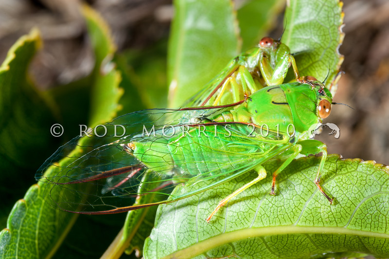 DSC_4128  April green cicada (Kikihia ochrina) pair mating on mahoe in March. A common and widespread member of a group of  'foliage green cicadas' that prefer to sing from the foliage of short green shrubs. Seatoun, Wellington *