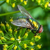 DSC_4748 European green blowfly (Lucilia sericata) male feeding on nectar in sunlight. Bright shiny green or copper. The fly pollinates flowers but lays its eggs on live sheep, or dead animals. Auckland *