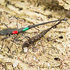 DSC_7917 Giraffe weevil, or tuwhaipapa (Lasiorhynchus barbicornis) NZ's longest beetle. Large male with smaller female on right. The coloured 'spots' are markings made by a researcher studying behaviour. Common in spring and summer on trunks and logs in North Island, and northern South Island forests. Matuku Reserve, Waitakere Ranges