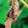 11001-41814  Red Admiral butterfly (Vanessa gonerilla gonerilla) emerging from chrysalis