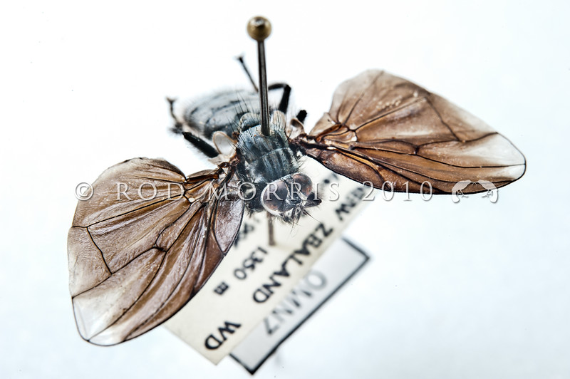 DSC_1190  Bat-winged 'cannibal' fly (Exsul singularis) museum mounted speciman collected at Lake Douglas, Haast *