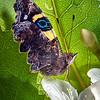 DSC_5495 Yellow admiral, or kahu kowhai (Vanessa itea) butterfly resting on Ribbonwood flower (Hoheria sexstylosa). Dunedin *