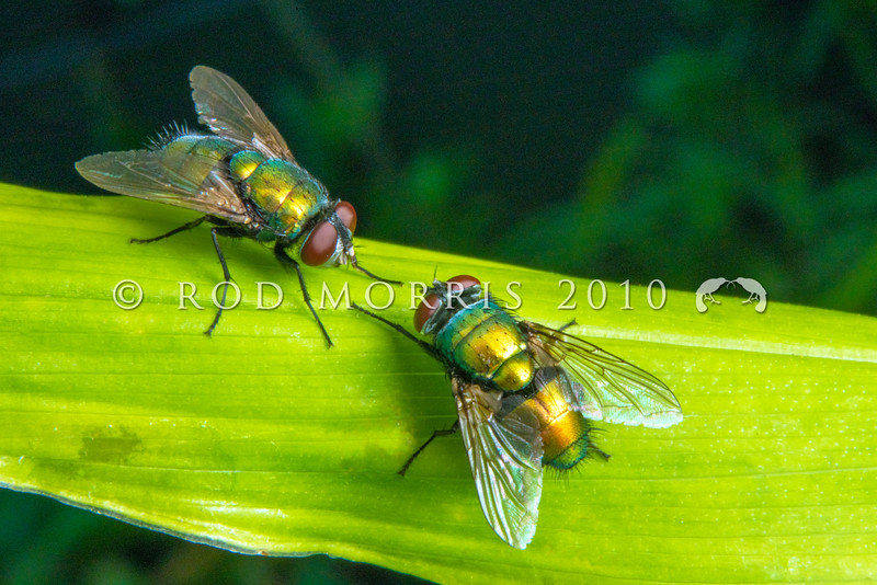 DSC_4735 European green blowfly (Lucilia sericata) two males resting on leaf in sunlight. Bright shiny green or copper. The fly pollinates flowers but lays its eggs on live sheep, or dead animals. Auckland *