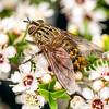 DSC_0463  Ginger bristle fly (Protohystricia alcis) on kanuka flowers. Otago Peninsula *