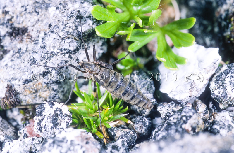 11005-50710 Cranefly or matua waeroa (Gynoplistia sp.) a brachypterous female (note greatly reduced wings) on liverwort. Sinbad Gully, Fiordland *