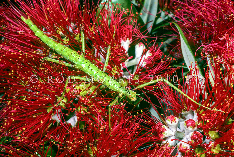 11005-24514  Prickly stick insect (Acanthoxyla geisovii) green female on pohutukawa flower. The genus Acanthoxyla contains only females, they all reproduce by parthenogenesis, and all species seem to have arisen via hybridisation. Can be found on trees such as rimu, totara and on climbing rata. Petone *