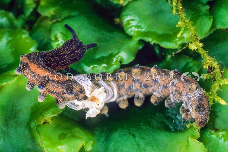 11005-12014  Caversham peripatus (Peripatoides 'Dunedin') moulting skin. Caversham *