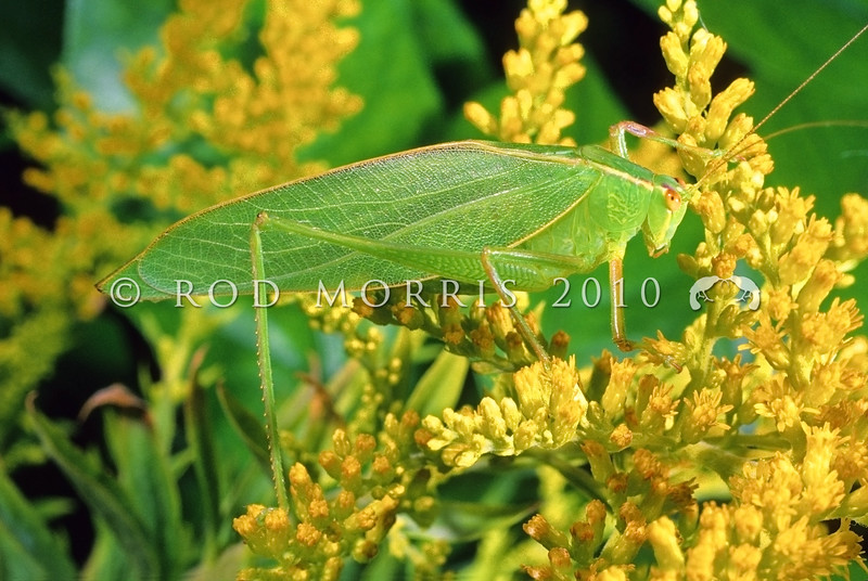 11005-26503  Katydid (Caedicia simplex) on goldenrod flowers. Macandrew Bay, Dunedin *