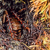 11005-31601 Mole weta (Deinacrida talpa) male 'guarding' underground burrow entrance with his short sturdy legs characterised by six strong spines running down both sides of legs. Paparoa Range