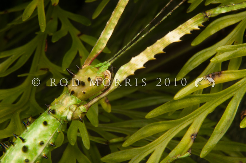 DSC_8023 Prickly stick insect (Acanthoxyla geisovii) detail opf head. This  green and white morph is one of the more attractively patterned of our green stick insects. This genus is very unusual as all populations are female and they reproduce by parthenogenesis. Otago Peninsula *