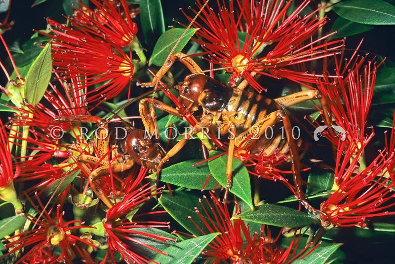 11005-28122  Wellington tree weta (Hemideina crassidens) females foraging in southern rata flowers. Haast *