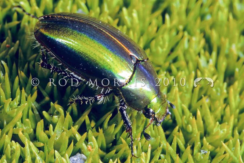 11005-70105 Green manuka chafer (Pyronota inconstans) adult on mat plant. Seaward Kaikoura Range *
