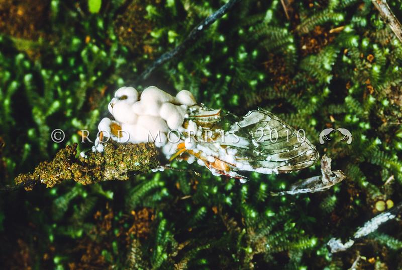 11005-00419  Chorus cicada (Amphisalta zelandica) dead adult killed by the entomopathogenic Sugar icing fungus (Cordyceps bassiana). Amphisalta are the largest cicadas in New Zealand. Kaimai Range *