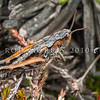 DSC_6735 Short-horned grasshopper (Sigaus australis) in herbfield, Glacier Basin in the St Mary's Range above Kurow *