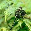 11005-21503  Chilton's giant dragonfly, or Devils darning needle (Uropetala chiltoni), adult resting in tree fern. Also known as the New Zealand Mountain giant dragonfly. Westland *