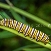 DSC_4571 Monarch butterfly (Danaus plexippus) large caterpillar feeding on the introduced South African swan plant (Gomphocarpus physocarpus). Otago Peninsula *