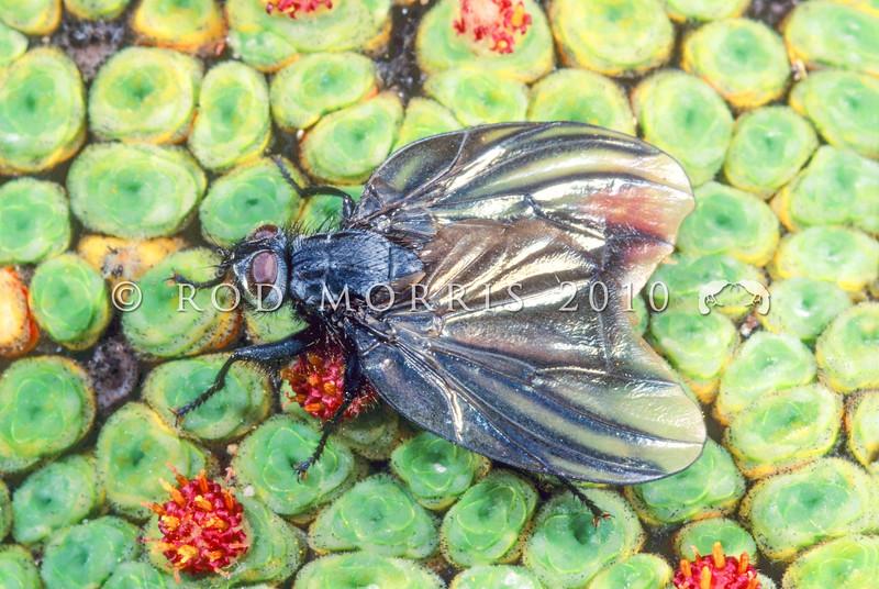 11005-50508  Bat-winged 'cannibal' fly (Exsul singularis) resting on red-flowered raoulia. Lake Douglas, Haast range *
