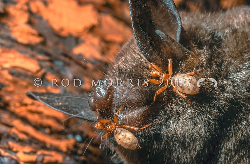 11005-50007 Wingless bat flies (Mystacinobia zelandica) adult flies on short-tailed bat. Rangataua Forest *